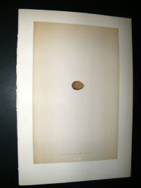 Morris Antique Bird Egg Print 1892 Red-Throated Pipit